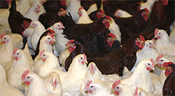 Fe3C feed additives are being developed to prevent bacterial infection of poultry, a common cause of food poisoning.